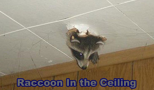 How To Get Rid Of A Raccoon In The Ceiling